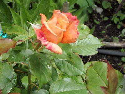 Brad Jalbert - 'The Diane Loomer' shrub