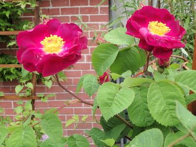 Old Gallica rose 'La Belle Sultane'