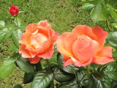 Weeks Roses 'Livin' Easy' shrub - great fragrance