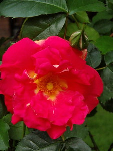 'Baljazzo' climbing rose 2nd year
