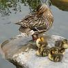 DSCN4602 ducks
