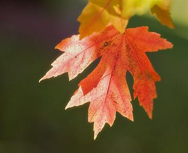 red_leaf_IMG_1467