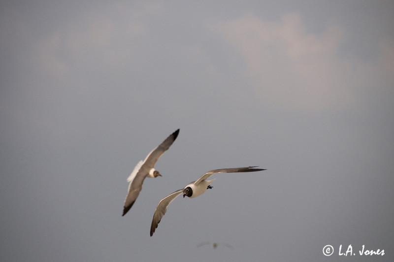 Corpus Seagulls