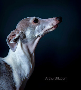 Italian Greyhound Denver