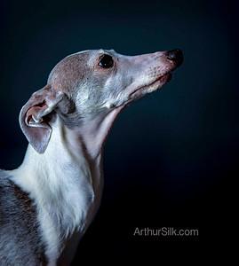Italian Greyhound Denver