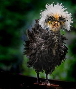 Polish baby hen