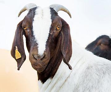 Pet Portrait Goat
