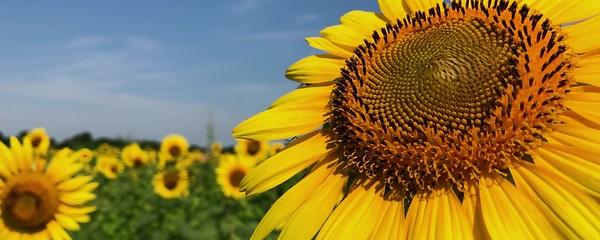048_2018_Sunflowers