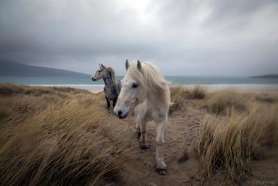 MoThomson_WestHarris23_Luskentyre_ponies_in_the_rain