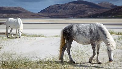 MoThomson_WestHarris12_Luskentyre_ponies