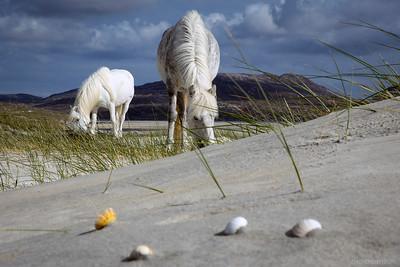 MoThomson_WestHarris19_Luskentyre_ponies_sea_shells