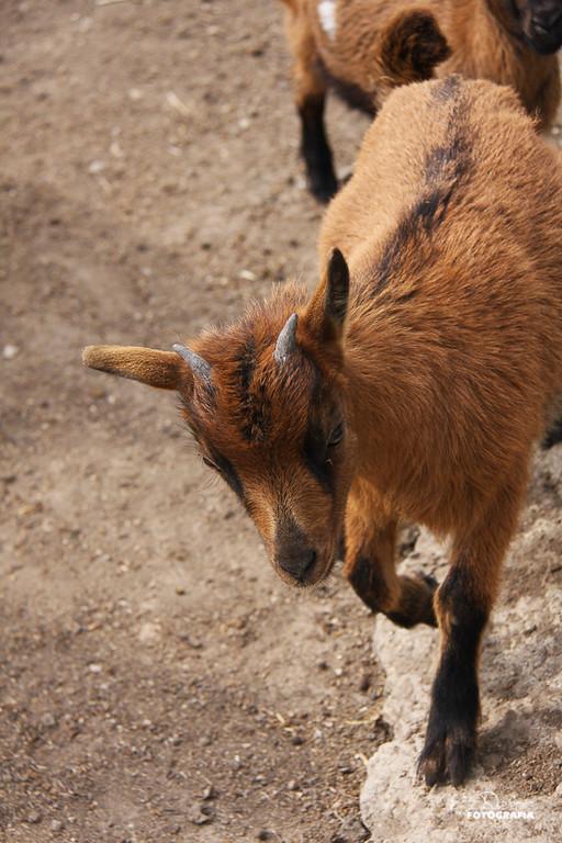 Cabra de Can Bosc por Elena Rubio para elenircfotografia