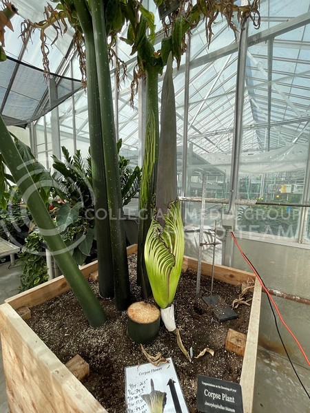 The corpse flower resides inside of the University Gardens greenhouse and it's blooming is a rare event. (Sophie Osborn   Collegian Media Group)