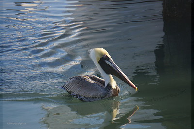 Pelican pulling blue waves