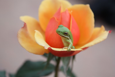 I was visiting the Corpus Christi Botanic Garden at spotted this tree frog sleeping in a rose. I gently picked him up and put him in this beautiful two-toned flower. He reached up to look at me before lying down again for a nap.