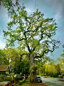Mighty Oak in the City of Redwood