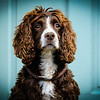 spaniel dog portrait