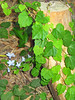 Ivy-covered stump and tiny blue flowers