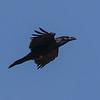 Raven - Ravn
