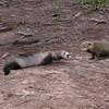 Ferret and Rock Hyrax
