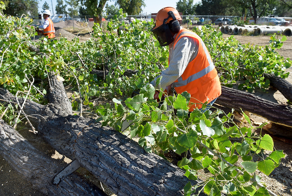 . LONGMONT, CO - AUG. 29, 2018: Candelario Delgado cuts up a cottonwood tree on the former Royal Mobile Home Park property Aug. 29. Contractor L&M Enterprises is working on the Resilient St. Vrain Creek project by removing underbrush. Other work includes changing the flow of the waterway and the river\'s structure to make it less prone to flooding. (Photo by Lewis Geyer/Staff Photographer)