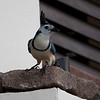 White-throated Magpie-Jay<br /> Calocitta formosa