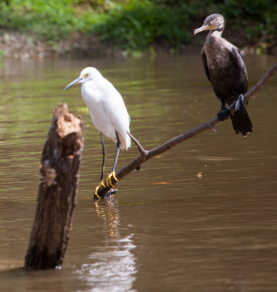 Snowy Egret and Neotropical Cormorant