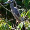 Yellow-crowned Night-Heron<br /> Nyctanassa violacea