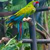 Great Green Macaw<br /> Ara ambiguus
