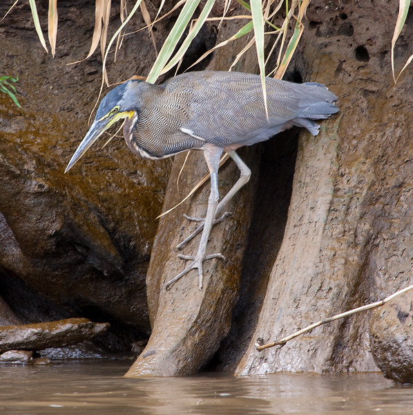 Bare-throated Tiger-Heron<br /> Tigrisoma mexicanum