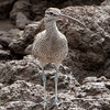 Whimbrel<br /> Numenius phaeopus