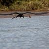 Magnificent Frigatebird<br /> Fregata magnificens