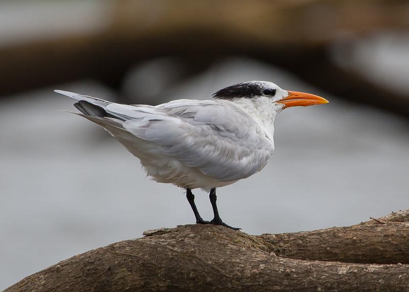 Royal Tern<br /> Thalasseus maximus