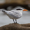 Royal Tern<br /> Thalasseus maximus