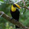Black-mandibled Toucan<br /> Ramphastos ambiguus