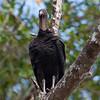 Black Vulture<br /> Coragyps atratus