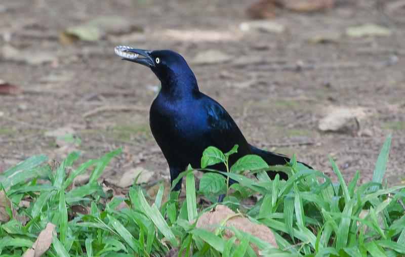 Nicaraguan Grackle<br /> Quiscalus nicaraguensis