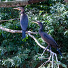 Neotropic Cormorant<br /> Phalacrocorax brasilianus