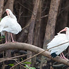White Ibis<br /> Endocimus albus