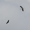 Wood Stork and Vulture