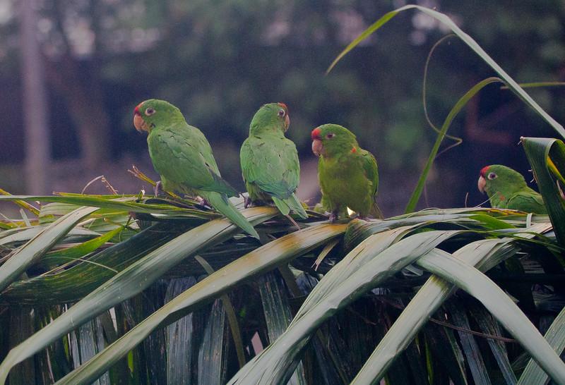 Crimson-fronted Parakeet<br /> Aratinga finschi