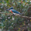 Belted Kingfisher<br /> Megaceryle alcyon