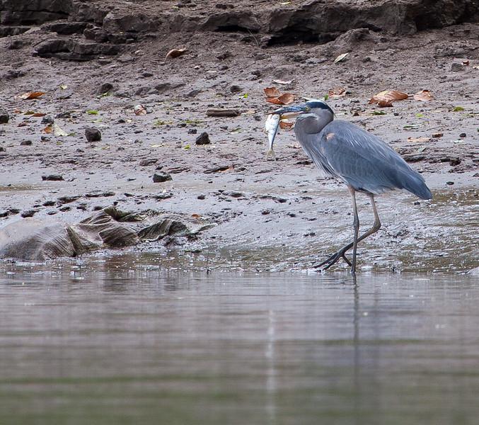 Great Blue Heron<br /> Ardea herodias