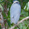 Boat-billed Heron<br /> Cochlearius cochlearius<br /> (back turned to us)