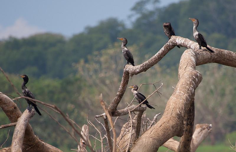 Neotropical Cormorants