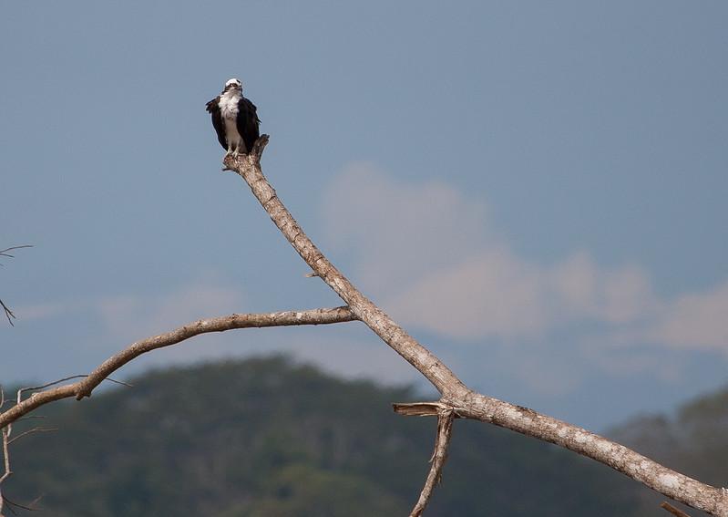 Osprey<br /> Pandion haliaetus