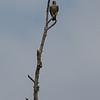 Peregrine Falcon<br /> Falco peregrinus
