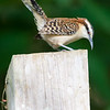 Rufus-naped Wren