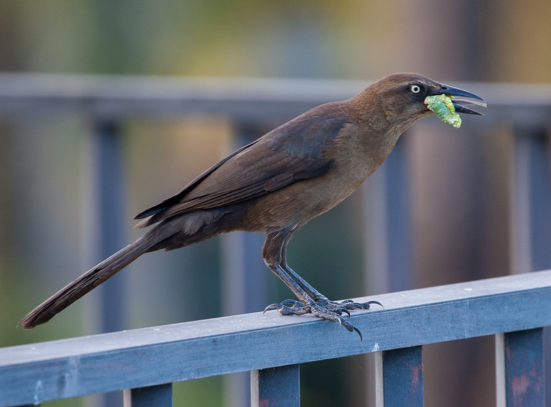 Great-tailed Grackle female<br /> Quiscalus mexicanus