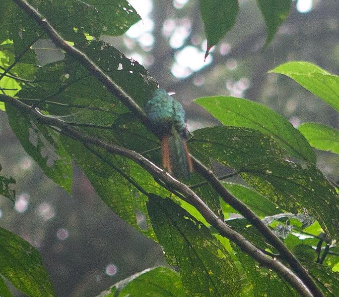 Rufous-tailed Jacamar<br /> Galbrula ruficauda